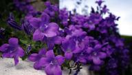 ما هي فوائد زهرة البنفسج