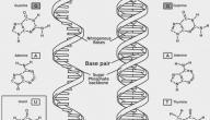 متى تم اكتشاف البنية الجزيئية للأحماض النووية في الجسم