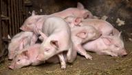كيف الوقاية من انفلونزا الخنزير