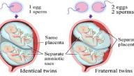 مراحل نمو التوائم في بطن الأم