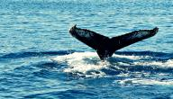 كيف ينام الحوت
