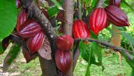 موضوع عن شجرة الكاكاو