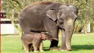 كيف يولد الفيل