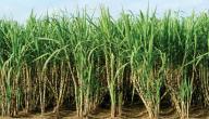 زراعة قصب السكر في مصر