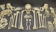 عدد عظام جسم الإنسان البالغ