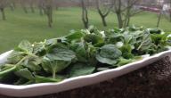 طريقة تفريز الزعتر الأخضر