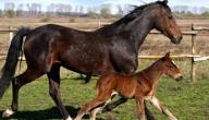 ماذا تسمى أنثى الحصان