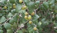 معلومات عن نبات السمر - موضوع