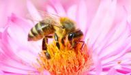 ما فوائد غذاء ملكات النحل