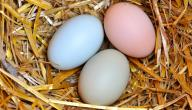 ما هي فوائد بيض البط
