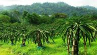زراعة فاكهة التنين