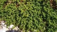 طريقة استعمال عشبة القبار