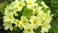 فوائد زهرة الربيع المسائية