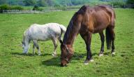 كيف يولد الحصان