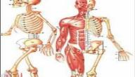 عدد مفاصل الجسم