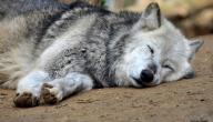 كيف ينام الذئب
