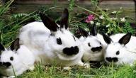 ماذا يطلق على صوت الأرنب