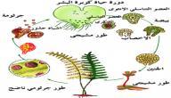 مراحل دورة حياة السرخسيات