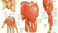 بحث حول حركة العضلات