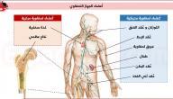 ما هو النخاع العظمي