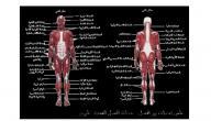 ما هو الجهاز العضلي