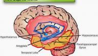 مكان الذاكرة في الدماغ