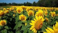 كيفية زراعة عباد الشمس