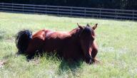 كيف ينام الحصان