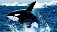 كم عدد عظام الحوت