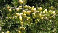 بحث عن فوائد شجرة الزيتون