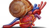 كم عدد نبضات القلب السليم