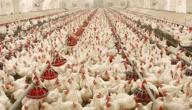 طرق تربية الدجاج