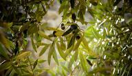 فوائد شجر الزيتون
