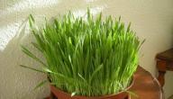 فوائد عشبة الشعير