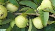 ما فائدة ورق الجوافة