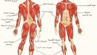 كم عدد عضلات الجسم · ما عدد عظام جسم الإنسان