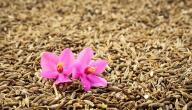 فوائد نبات الكمون