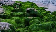 فوائد الطحالب للبشرة