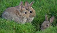 ما اسم بيت الأرنب