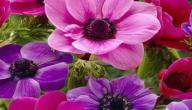 فوائد نبات شقائق النعمان