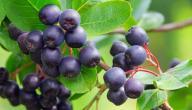فوائد نبتة الأساي