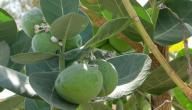 فوائد نبات العشر
