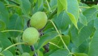 فوائد أوراق شجرة الجوز