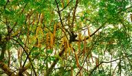 فوائد شجرة غصن البان