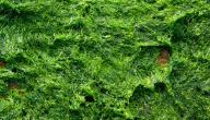 فوائد الطحالب البحرية للتخسيس