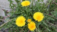 فوائد نبتة الشيكوريا