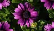 فوائد زهرة البنفسج للشعر