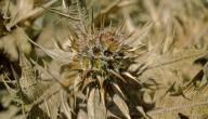 ما هو نبات العكوب