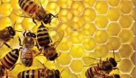 فوائد عسل النحل الأبيض
