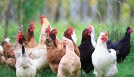 فوائد تربية الدجاج